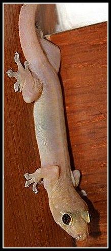 gecko1